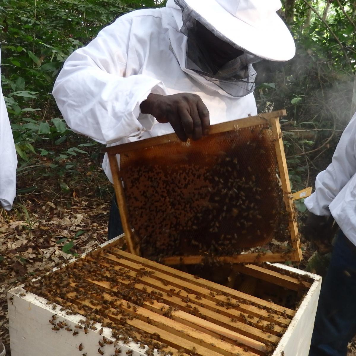 l 39 apiculture en afrique maya. Black Bedroom Furniture Sets. Home Design Ideas